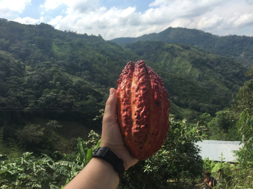 a cocoa seed/ plant outside of medellin