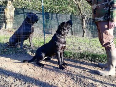 regina-cane-corso-dei-legionari5