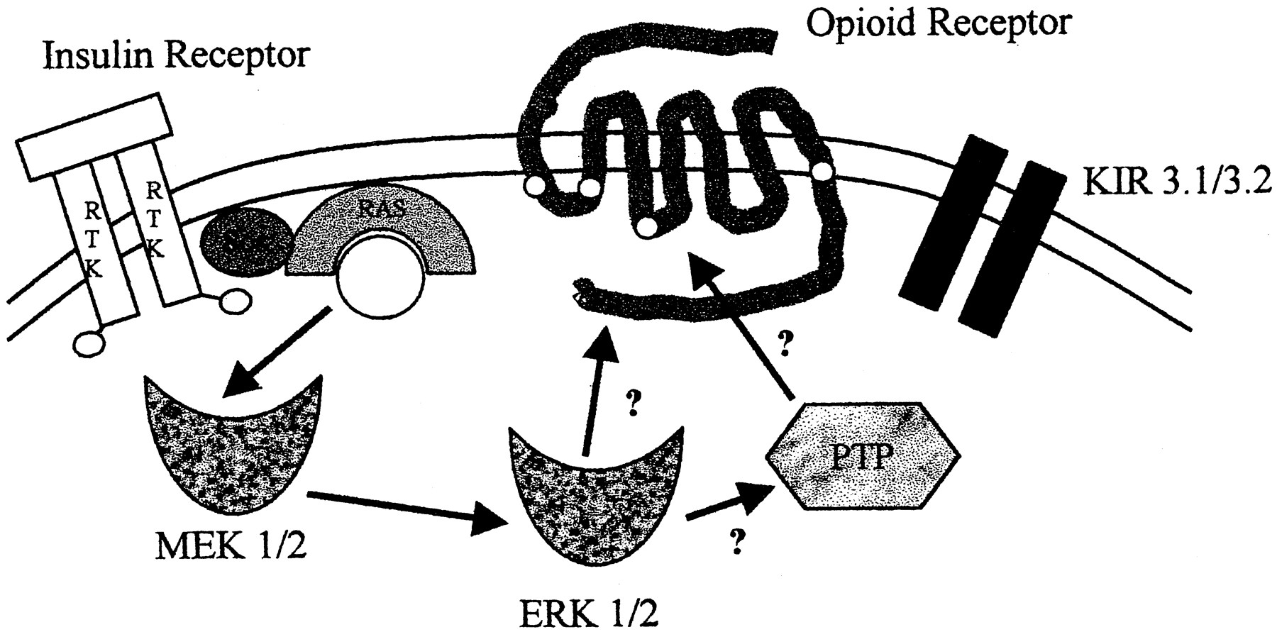 Tyrosine Phosphorylation Of The Opioid Receptor