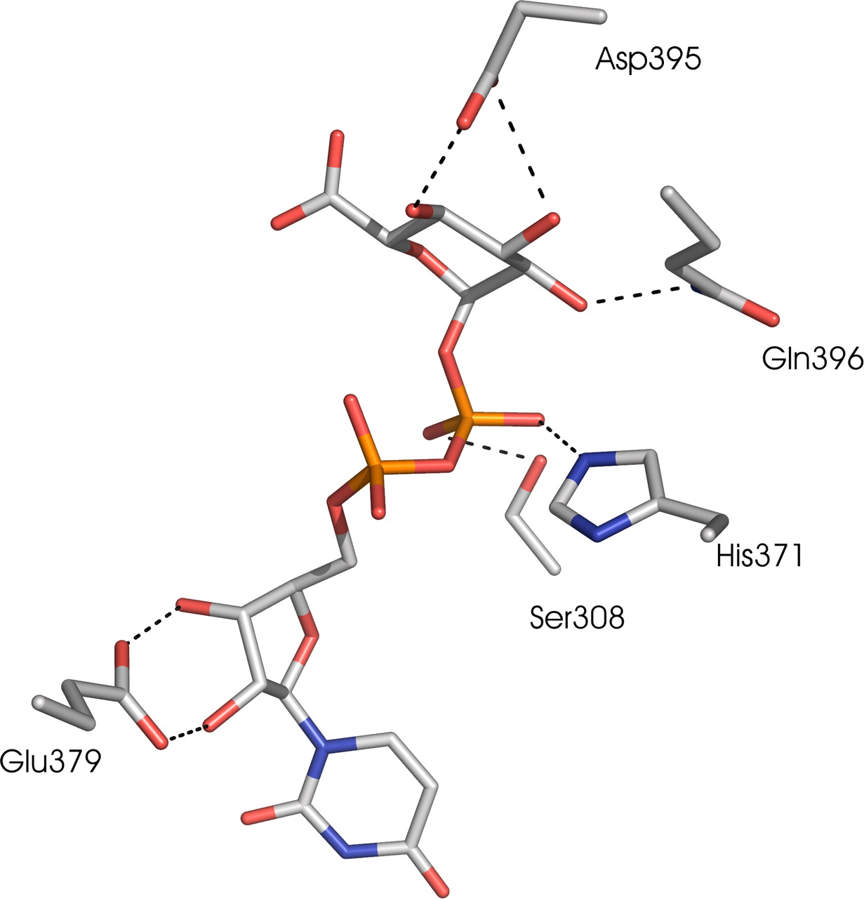 The Human UDP-Glucuronosyltransferase: Identification of