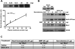 Mrp1 Localization and Function in Cardiac Mitochondria
