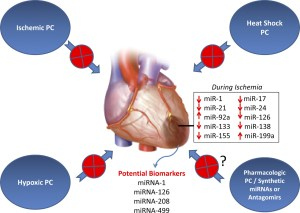 MicroRNAs: New Players in Cardiac Injury and Protection | Molecular Pharmacology
