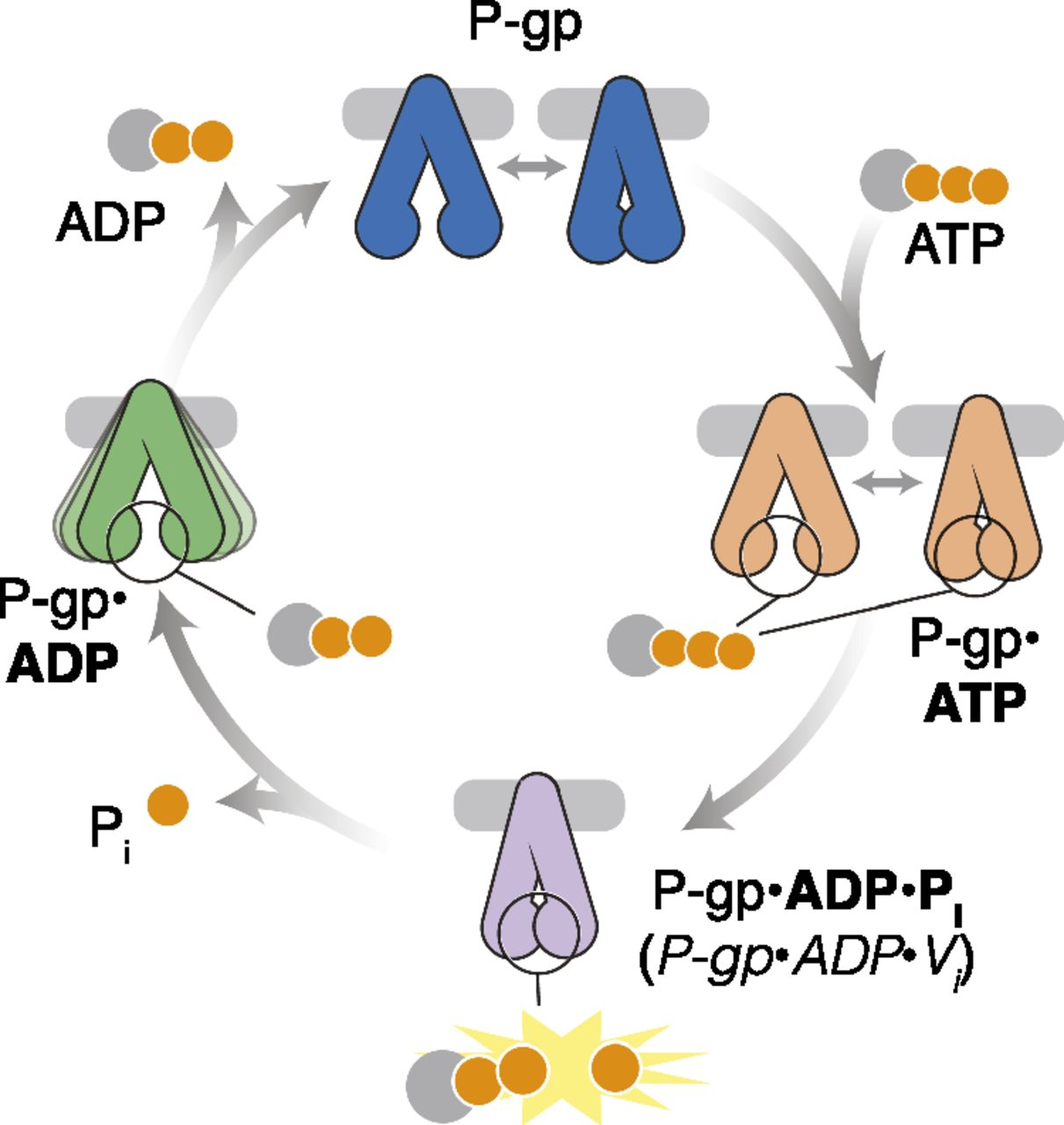 Cryo Emysis Of The Conformational Landscape Of Human