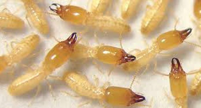 شركة-مكافحة-النمل-الابيض-براس-تنوره