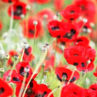 In the Poppies