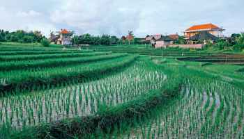 plantation of rice growing in tropical farm