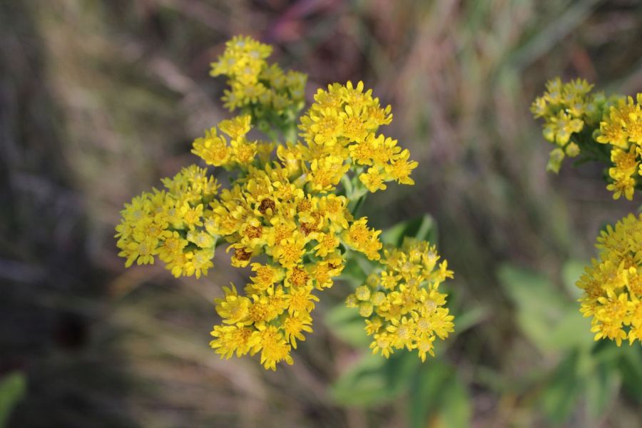 A closeup of a goldenrod flower.  There are a few different ones so not all look exactly like this.