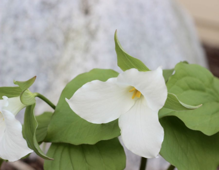 The Trillium. My favorite wildflower.