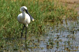 The Eurasian spoonbill or common spoonbill (Platalea leucorodia)