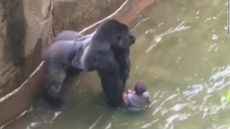 160530005314-boy-falls-into-gorilla-habitat-pkg-nr-00005109-exlarge-169