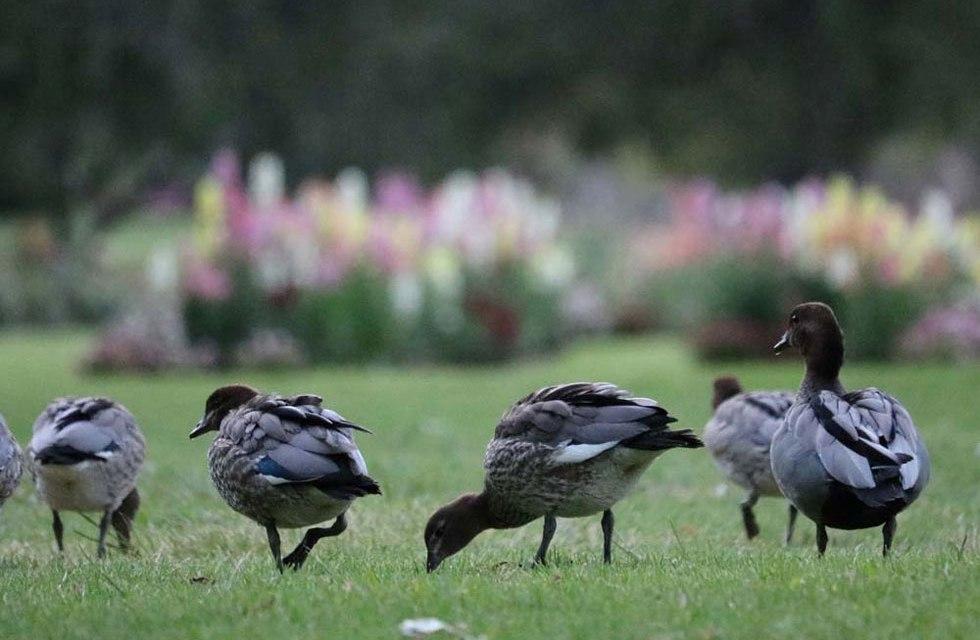 Adelaide Veale Gardens (South Australia) – Part 2