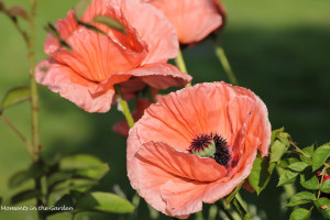 group of oriental poppies