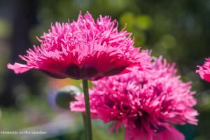 Ruffled pink poppy