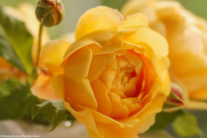 Apricot coloured rose-6431