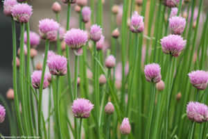 Chives in bloom 2 (good)-5586