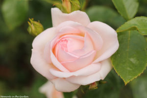 Perfect delicate pink rose-6145