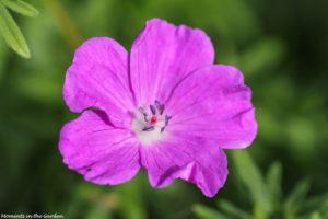 Pink hardy geranium-5689