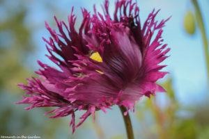 Ruffled purple poppy-6146