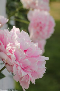 Peonies by the fence-6483