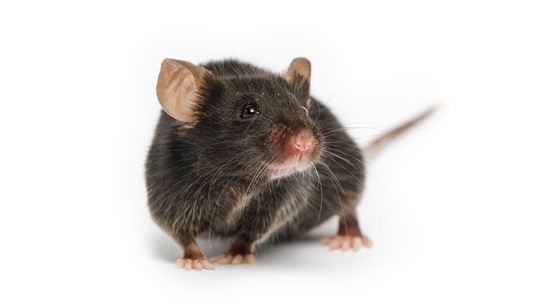 rodents mouse