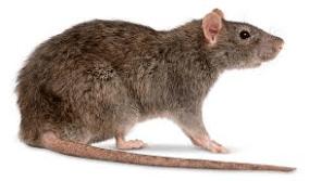 rodents rat