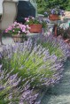 English lavender in July
