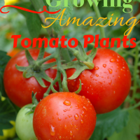 12 Secrets To Growing Amazing Tomato Plants