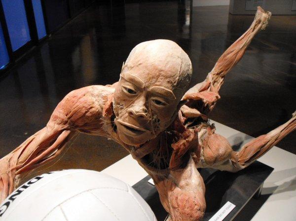 Real Human Body Exhibit