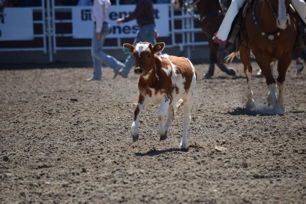 Calves at Calgary Stampede