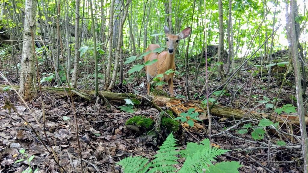 deer in tremblant