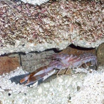 Strange Animals – the Piston Shrimp