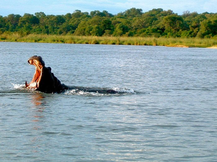 Okavango Delta Hippos