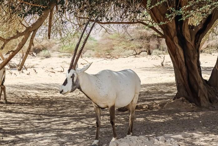 White Oryx