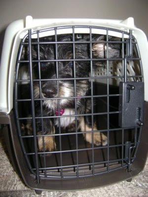 schweenie in Petmate pet carrier
