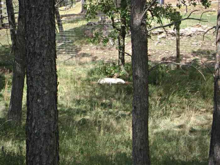 Arctic Wolf at Bear Country USA