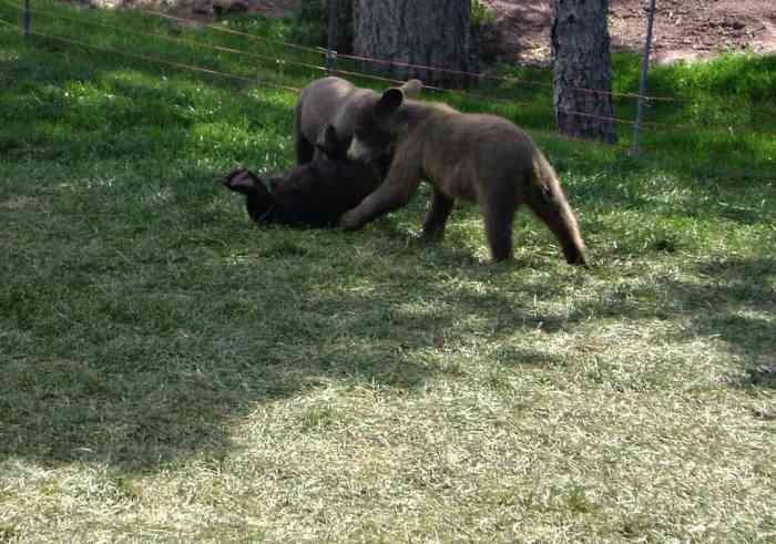 baby bears at Bear Country USA