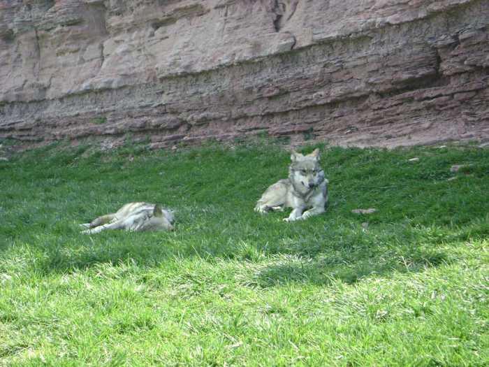 timber wolves at Bear Country USA