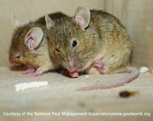 mice in cupboard