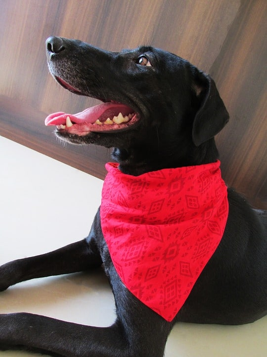 Do Custom Dog Bandanas Have Health Benefits?