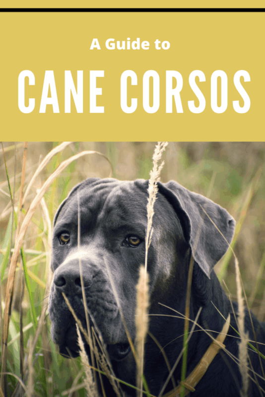 cane corso in large field