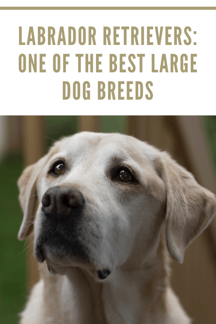 There's a reason Labrador retrievers are the most popular dog breed in the U.S. Gentle and kind, they're always looking to make new friends. And they usually won't play too rough.