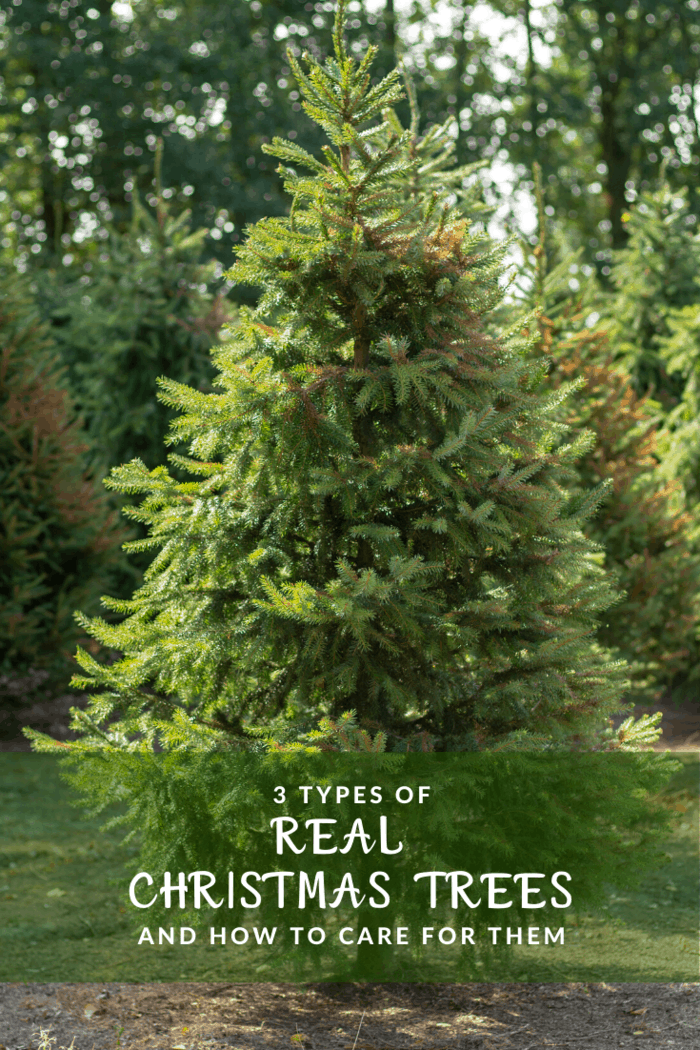 The large, soft needles ensure this tree stays a firm favorite of families with children. Check out the Christmas tree farm in Texas for a great selection of Christmas trees.