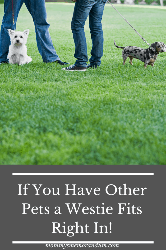 Even though Westies can be possessive over their stuffed toys and food, they coexist really well with other pets.