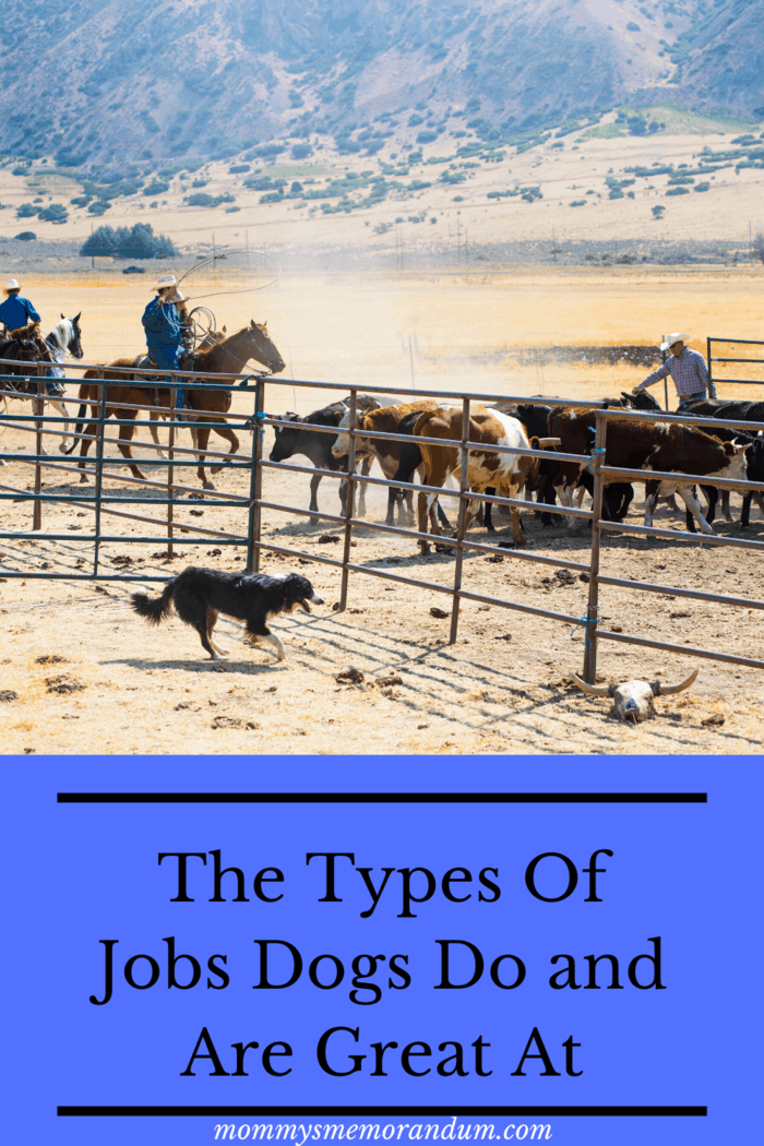 Types of Jobs Dogs Do Herding dogs are specifically bred to work with various types of livestock, these highly energetic pups tirelessly run circles around the herd, moving them in an orderly fashion to their grazing pastures and then back to their appointed barns and shelters.