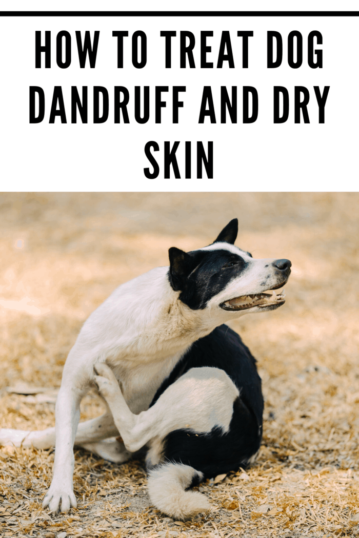 Dog dandruff is a very common problem and one that may be related to a wide variety of health issues.