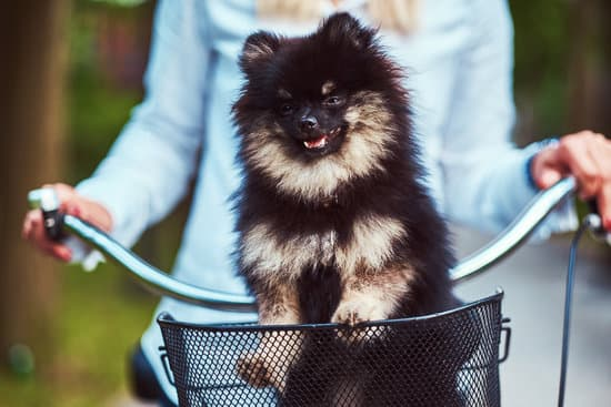 Close-up image of a cute Spitz dog in the bicycle basket on a ride.