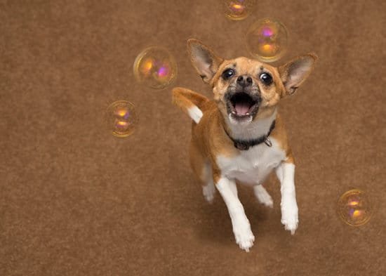 Brown and white chihuahua jumping up towards camera at bubbles. Isolated on a brown background. Lots of room for text to be added.