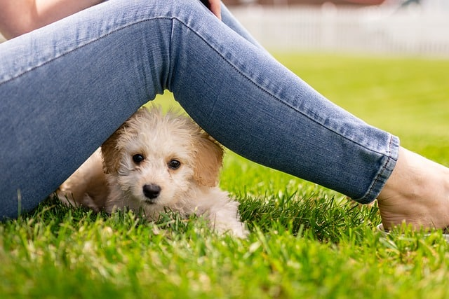 small white puppy under legs in jeans