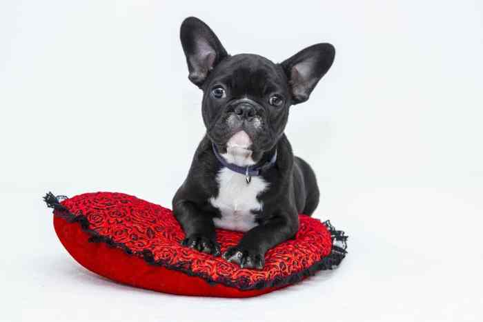 black boston terrier puppy sitting on red and black heart shaped pillow