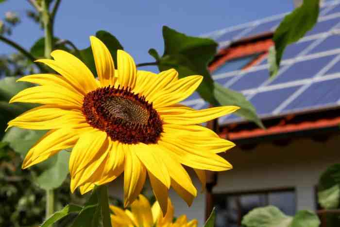 close up of sunflower with solar panels in background depicting living green
